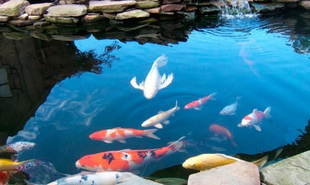Декоративная рыба для пруда. Компания Чистые пруды.