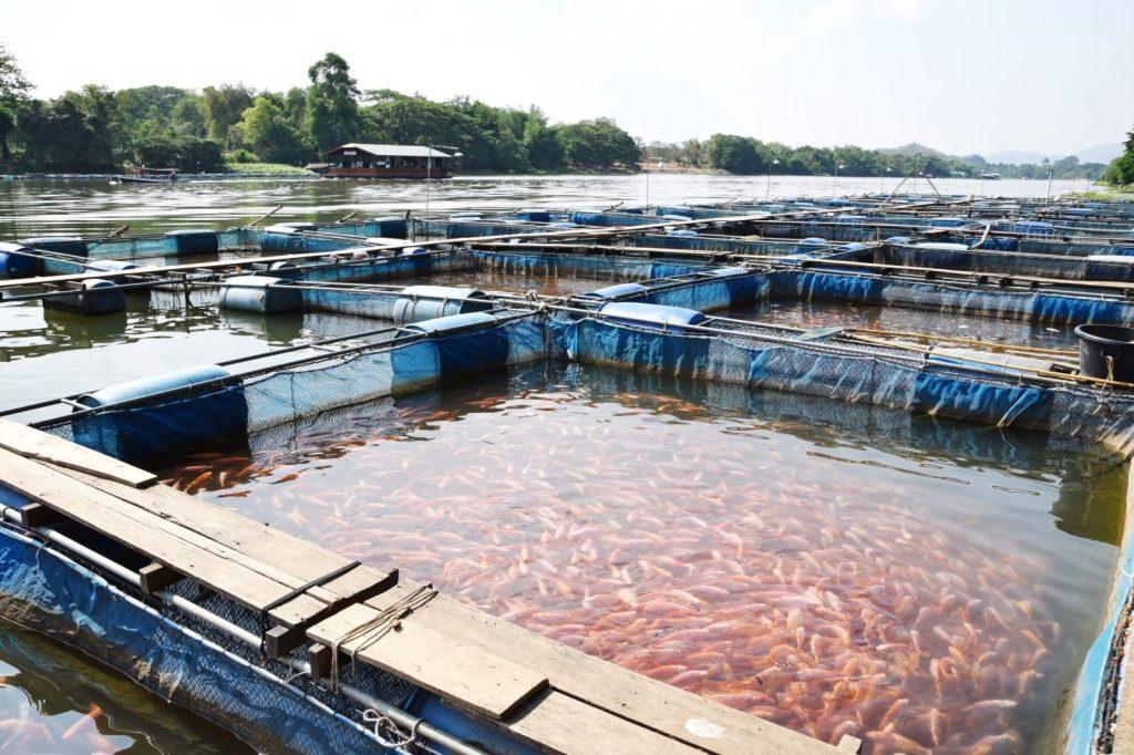 Разведение рыбы компания Чистые пруды